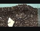 [閲覧注意!!]再編集 トタテグモにカイコガを与えてみた。Gorgyella sp.)