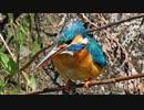 4月25日今日撮り野鳥動画まとめ カワセミ、カルガモ、コゲラなど