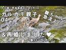 5月3日今日撮り野鳥動画まとめ カルガモ親子4養父登場・雛の急流上り、ムクドリヒヨドリ水浴び。