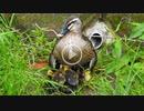 5月4日今日撮り野鳥動画まとめ カルガモ親子5、1日離婚><・雛の急流上り、カワセミ♀×2。