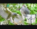 5月5日今日撮り野鳥動画まとめ ツミの♂♀違いと求愛給餌。カルガモ親子6