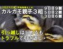 5月8日今日撮り野鳥動画まとめ カルガモ親子3組 孵化後9日目+3日目親子引っ越しチャレンジ+2羽生き残り。