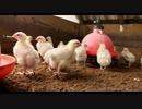 食品産業に潜む腐敗 ep4「養鶏」