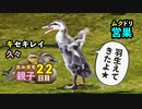 5月21日今日撮り野鳥動画まとめ カルガモ親子22日目、キセキレイ、羽折れハクセキレイ