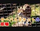 【カワイイ威嚇】サーバルキャットの威嚇する姿がこれまたカワイイ[愛媛県立とべ動物園](俺の動物観察)[俺のシリーズ]