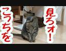 【ツン猫】こっちを向いてよ【字幕なし】