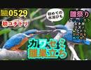 5月29日今日撮り野鳥動画まとめ カワセミ巣立ち、カルガモ親子30日目、コチドリ、イシガメ。ムクドリ雛