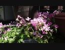 開花のタイムラプス