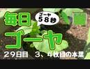 【毎日ゴーヤ】毎日58秒でゴーヤの成長をみる動画(29日目)