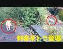 ロミ男を付け狙う悪役茶トラ 2020-06-01