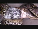 トリを丸呑みするアミメニシキヘビ