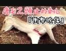 鹿の止め刺し2頭まとめて!!かなり刺激的な映像なんで気をつけて下さい