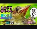 0612今日撮り野鳥動画まとめ ヒヨドリ雛✨、カワセミ帰巣✨エナガ、カルガモ親子