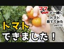 【ママと一緒に】トマト育ててみた part12【収穫!】