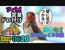 0620【カルガモ親子に餌をあげないで】カワセミ♀卵でお腹ぽっこり【今日撮り野鳥動画まとめ】