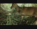 鹿の眉間に一撃&止め刺し『命のやり取り』