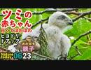 0623【ツミの赤ちゃん白くてほわほわ】ヒヨドリ超近く、オナガ雛、カワセミ親子など【今日撮り野鳥動画まとめ】いきものがたり