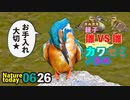 0626【ふっくらカワセミさん】カルガモ親子雛同士のバトル□【今日撮り野鳥動画まとめ】身近な生き物語
