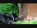 ミニチュアシュナウザーのリス狩り