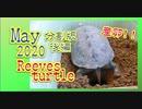 【クサガメ産卵】分割後編カメコ5月の様子[Turtle spawning] Reeves turtle