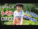 【パパと一緒に】トマト育ててみた part13【大収穫祭】