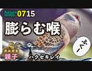 0715【雨の中のキジバト】カルガモ親子、ハクセキレイ、ヒグラシの鳴き声【今日撮り野鳥動画まとめ】身近な生き物語