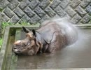 水が大好きなインドサイ(多摩動物公園)