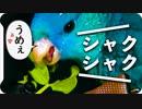 【ASMR】豆苗かじりサザナミインコ【咀嚼音】
