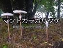 マントカラカサタケ - 特徴観察と調理例