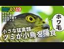 0719【ツミが小鳥を捕食】カルガモ親子大きくなった!カラス親子も。カワセミ幼鳥女の子の羽繕い。【今日撮り野鳥動画まとめ】身近な生き物語