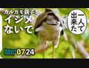 0724【カルガモ親子をイジメないで】幼ツミ初狩り成功!?捕食シーン。スズメバチの飛び方【今日撮り野鳥動画まとめ】身近な生き物語
