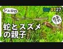 0727【みなしごカルガモ】蛇とスズメ。カラス泥棒&餌隠し。鳥ホバリング、虻蜂取る。【今日撮り野鳥動画まとめ】身近な生き物語