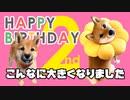【生誕祭】子犬時代の秘蔵映像蔵出し!柴犬ももっぷ2歳のお誕生日