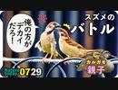 0729【スズメの喧嘩と給餌】カルガモ親子にカラス、キセキレイ、カワセミ、キジバト等【今日撮り野鳥動画まとめ】身近な生き物語