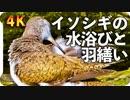 【4K】イソシギの羽つくろい