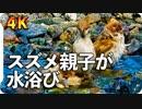 【4K】スズメ親子が皆で水浴び