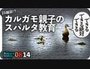 0814【カルガモ親子のスパルタ教育】8月生まれの新家族。琵琶湖の野鳥。カワセミつがい?ヒヨドリ鳴き声。怪我と奇形の子ガモ【今日撮り野鳥動画まとめ】身近な生き物語