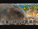 ハムスターが頬袋から餌を吐き出す瞬間の映像。 The moment the hamster spits out food..  #70【ハムスター物語】