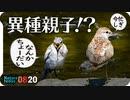 0820【イソシギ鳴き声求愛交尾?】セキレイ幼鳥巻き添え?カルガモ親子、ヒヨドリ鳴き声、スッポン、虫炒め、黄色いコイなど
