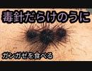 【ぴ】毒ウニ軍艦!ガンガゼを捕って食べる!