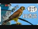 0823【カルガモ親子の雨引っ越し】チョウゲンボウ、カワセミ幼鳥、鳩水浴び、セグロセキレイなど【今日撮り野鳥動画まとめ】身近な生き物語
