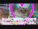 ウチのハムがクルミ食べるってよ。 Hamster eats walnuts.  #72【ハムスター物語】