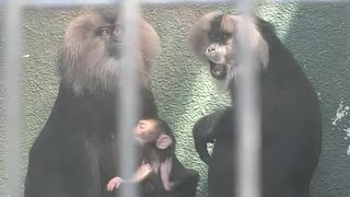 シシオザルの赤ちゃん(かみね動物園)