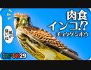 0829【チョウゲンボウがかわいい】飛べない子カルガモたち。ハトの日光浴、蜂の大群にアメンボ錯覚【身近な生き物語】今日撮り野鳥動画まとめ
