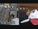 初めて『猫じゃらし』したら、モグラ叩きのようにピョコピョコする猫だった【三毛猫の保護当日-2】
