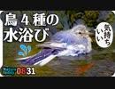 0831【鳥の水浴び種ごとに個性的】柿食うカルガモとカラスの芋虫捕食。モズのオスメス鳴き声、赤トンボの産卵とハナムグリ飛翔【身近な生き物語】今日撮り野鳥動画まとめ