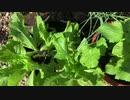 今日の富三菜園、サンチュは極旨焼肉の夢を見るか?