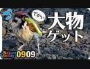 0909【バッタがスズメ雛に襲われる】カラスがパン食べる。カルガモエンジェルウイング。カワセミ幼鳥の喧嘩、朝焼け朝日【今日撮り野鳥動画まとめ】身近な生き物語