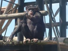 朝食探しのチンパンジー(かみね動物園)