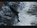 鮭の遡上 小樽運河